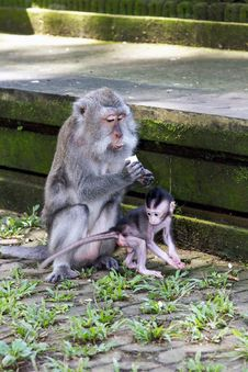 Free Mother And Baby Monkey Eating Stock Images - 26547994