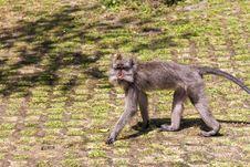 Free Walking Monkey In Ubud Forest, Bali Royalty Free Stock Image - 26548076