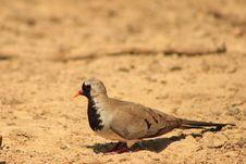 Free Namaquae Dove - Small And Swift Stock Photo - 26549670