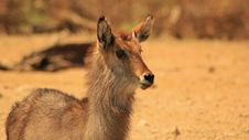 Free Waterbuck Bull - Little Devil Look-alike Stock Image - 26549971