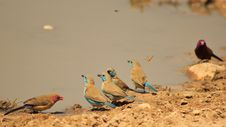 Free Waxbill, Blue - Lined-up Feathers Stock Image - 26550151