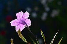 Free Purple Ruellia Royalty Free Stock Images - 26550789