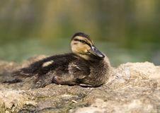 Free Mallard Baby Stock Images - 26552464
