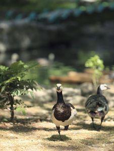 Free Geese Stock Photos - 26556023