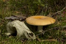 Skull Near The Fungus Royalty Free Stock Photography