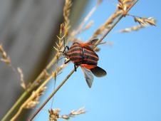 Free Red Striped Bug Royalty Free Stock Images - 26557439