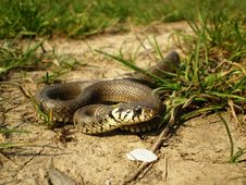 Grass Snake Coming Royalty Free Stock Photography