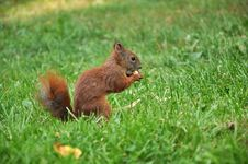 Free Eating Squirrel Stock Photo - 26558770