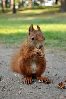 Free Eating Squirrel Stock Image - 26558891