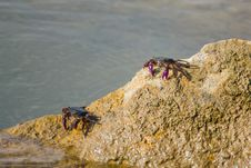Free Meder Mangrove Crab Royalty Free Stock Photos - 26559188