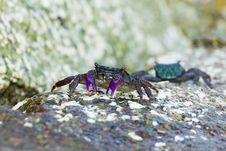 Free Meder Mangrove Crab Royalty Free Stock Photo - 26559205