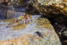 Free Shore Crab Royalty Free Stock Photos - 26559218