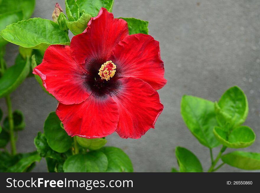 Hybrid Hibiscus Flower