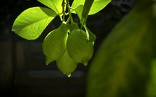 Free Lemons Stock Image - 26560041