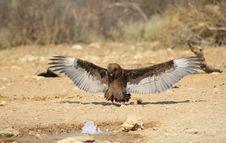 Wild African Birds - Brown Snake Eagle Stock Photos