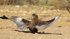 Eagle, Brown Snake - Absolutely Stunning 2 Royalty Free Stock Photos