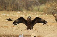 Eagle, Brown Snake - Simply Stunning 3 Stock Image