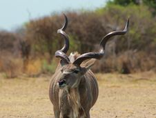 Free Kudu Bull - Curls And Twists 2 Stock Photos - 26564563