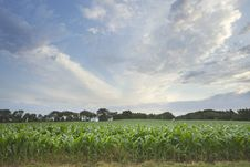 Free Field Of Young Corn With Sky And Clouds Stock Photo - 26564870