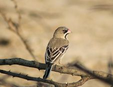 Free Scaly-feathered Finch - African Gamebird Royalty Free Stock Image - 26564916