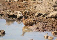 Free Sandgrouse, Namaqua - African Gamebird Royalty Free Stock Photography - 26564987