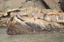 Free Sea Lions Royalty Free Stock Photos - 26565118
