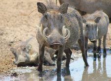 Free Warthog Family - Taking It Easy At The Pool Royalty Free Stock Images - 26565129