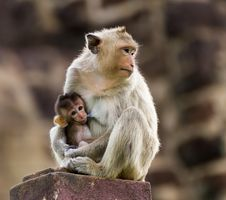 Free Baby Monkey And Mother Stock Photo - 26565280