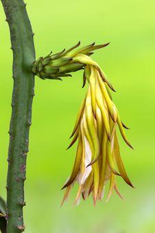 Free Dragon Fruit Flower Stock Image - 26565331