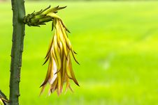 Free Dragon Fruit Flower Royalty Free Stock Photo - 26565355