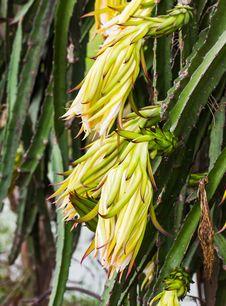 Free Dragon Fruit Flower Stock Image - 26565371