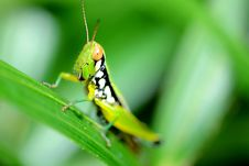 Free Colorful Grasshopper. Royalty Free Stock Photos - 26570758