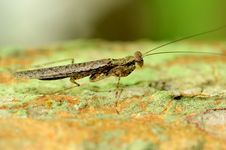 Brown Grasshopper. Royalty Free Stock Photo
