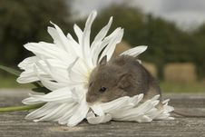 Free Small Mouse With The Flower Stock Photo - 26571670