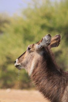 Free Waterbuck Cow With Droplets From Mouth - Africa Royalty Free Stock Image - 26576676