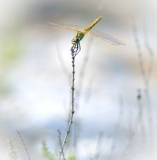 Free Anax Longipes Dragonfly Stock Image - 26577091