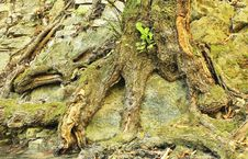 Free Root Of An Old Tree Stock Photo - 26578040