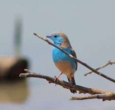 Free Blue Waxbill - Blue Or Bust Royalty Free Stock Images - 26580009