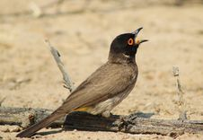 Free Red-eyed Bulbul - Swallowing Stock Photography - 26580102