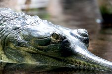 Free Crocodile Royalty Free Stock Photography - 26581047