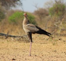 Free Secretary Bird - African Pride Royalty Free Stock Photography - 26581297