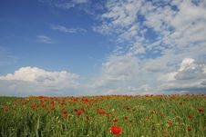 Free Poppy Field Royalty Free Stock Photography - 26586817