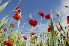 Free Poppy Field Macro Stock Photos - 26586903