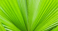 Free Closeup Of Palm Tree Leaf Royalty Free Stock Image - 26591236