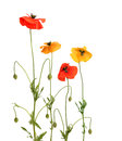 Free Red And Yellow Poppies Stock Image - 26593191