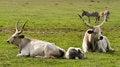 Free Bulls Stock Photos - 26593843