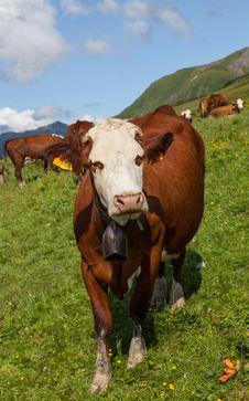 Free Cow Stock Photo - 26590170