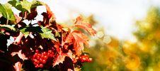 Mountain Ash Under The Bright Sun Stock Photo