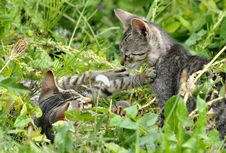 Free Striped Kittens Stock Photography - 26596982