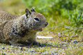 Free Ground Squirrel Stock Images - 2660354
